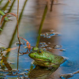 Bullfrog. Sitting in a swamp waiting for prey stock photography