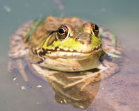 Bullfrog sitting in the water in a swamp. Bullfrog sitting in the water in a swamp front view royalty free stock image
