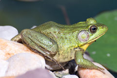Bullfrog sitting in the water in a swamp. Bullfrog sitting in the water in a swamp side view stock photos