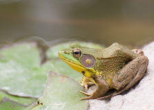 Bullfrog sitting in the water in a swamp. Bullfrog sitting in the water in a swamp side view royalty free stock images