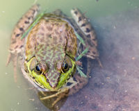 Bullfrog sitting in the water in a swamp. Bullfrog sitting in the water in a swamp top view stock images