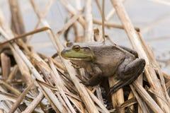 Bullfrog in spring Stock Photo