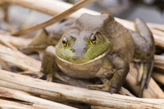 Bullfrog in spring Stock Photo