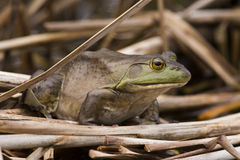 Bullfrog in spring Stock Images