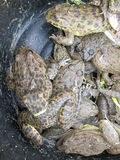 Bullfrog stacked together Stock Photography