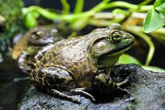 Bullfrog Standing on a Rock. This frog has an olive green back and sides blotched with brownish markings and a whitish belly spotted with yellow or grey royalty free stock photography