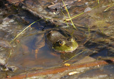 Bullfrog. At the surface of the water Stock Images