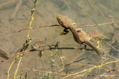 Bullfrog Tadpoles royalty free stock photography