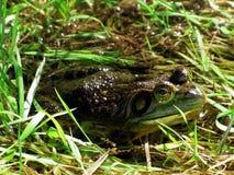 Bullfrog w Trawiastej zatoczce Zdjęcie Royalty Free