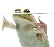 Bullfrog in water. Large bullfrog in pond water with white background stock photography