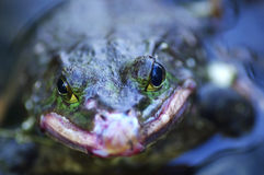 The bullfrog in water Royalty Free Stock Photo