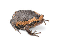 Bullfrog on white background Stock Image