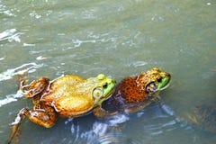 bullfrogs Στοκ φωτογραφία με δικαίωμα ελεύθερης χρήσης