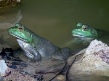 Bullfrogs in their natural setting in the wild Royalty Free Stock Photography