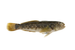 Bullhead fish isolated Stock Photo