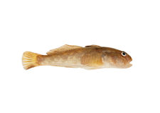 Bullhead isolated Stock Photos