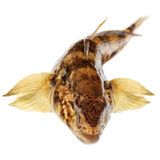 Bullhead. Isolated on a white background Stock Images