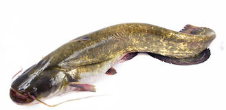 bullhead ryba Obrazy Royalty Free