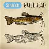 Sketch of bullhead or sculpin fish. Bullhead sketch for fish store or shop signboard. Miller and freshwater, common and siberian sculpin or catfish. Ocean and Stock Images