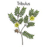 Bullhead Tribulus terrestris , medicinal plant. Hand drawn botanical vector illustration Stock Photos