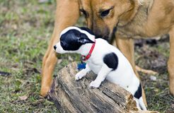 Bullies. Small dog captured in a posture of submission in the presence of a much larger dog Stock Photo