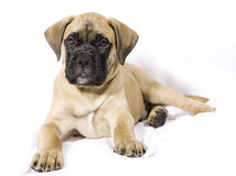 Bullmastif Puppy Royalty Free Stock Photos