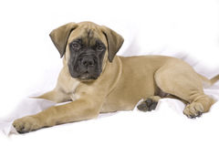 Bullmastif Puppy. 9 week old Bullmastif puppy on soft white cloth background stock image