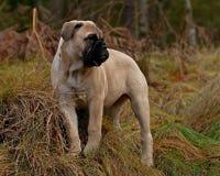 Bullmastiff小狗画象12个星期 免版税库存照片