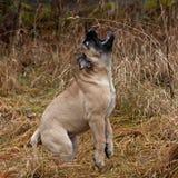 Bullmastiff小狗画象12个星期 库存图片
