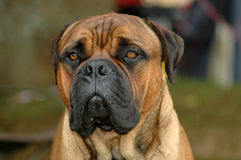 Bullmastiff Royalty Free Stock Images