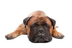 Bullmastiff. In front of a white background royalty free stock image