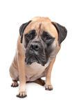 Bullmastiff. In front of a white background stock image