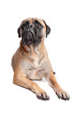 Bullmastiff. In front of a white background stock photos