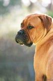 Bullmastiff Stock Images