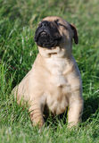 Bullmastiff Stock Photos