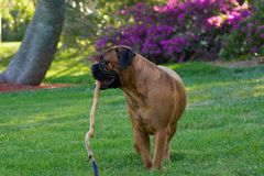 Bullmastiff Stockfotos