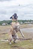 Bullmastiff attrapant un festin Photo stock