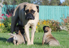 Bullmastiff. Sad bullmastiff feeding her pets in the garden stock photo