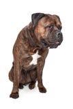 Bullmastiff Brindle fotos de stock royalty free