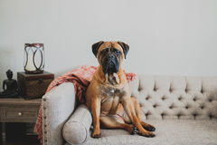 Bullmastiff on couch. Large Bullmastiff dog sitting on a vintage couch looking at the camera royalty free stock photography