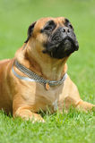 Bullmastiff dog Stock Photo