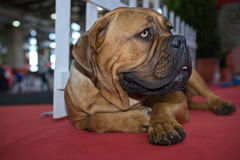 Bullmastiff dog Royalty Free Stock Image