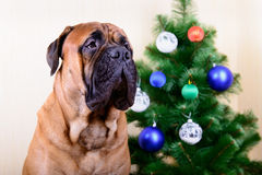 Bullmastiff dog with Christmas tree. Bullmastiff dog with a Christmas tree portrait close-up stock photo