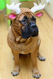 Bullmastiff dog in hat Royalty Free Stock Photo