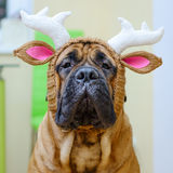 Bullmastiff dog in hat Stock Photo