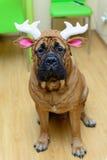 Bullmastiff dog in hat Stock Images
