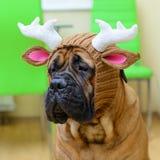 Bullmastiff dog in hat Stock Photos