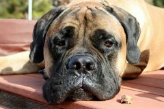 Bullmastiff Dog Laying Down on Decking royalty free stock image