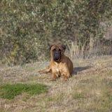 Bullmastiff Dog. Isolated royalty free stock photos