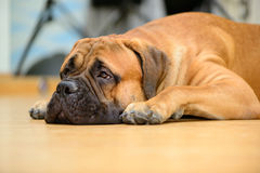 Bullmastiff dog lying. On the wooden floor at home stock photo